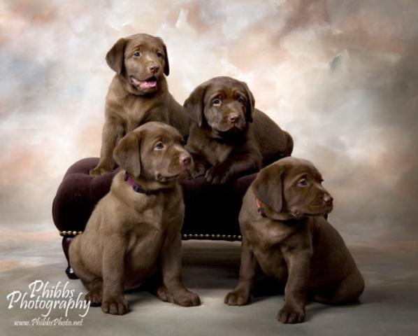 English Labrador Retriever Puppies For