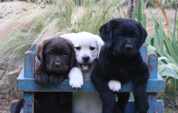 Labrador Puppies For Sale In Sacramento